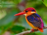 Ruby Kingfisher