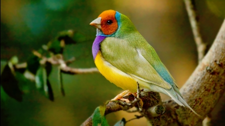 Gouldian Finch - colorful, purple, bird, green, orange, pasari, yellow, gouldian finch