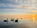 Swans and Sunset