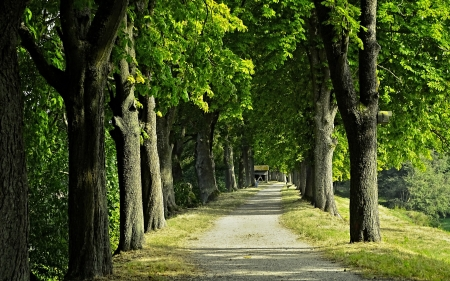 Chestnut Avenue - avenue, alley, trees, chestnuts, road