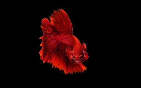 Betta - betta, dhiky aditya, red, pesti, fish, black