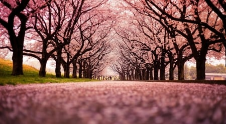 Spring perspective - spring, nature, park, trees, landscape, scene, cherry blossom, photography, blossom, wallpaper