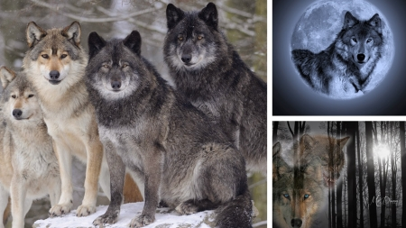 Wolf Collage - moon, full moon, wild, woods, wolf, collage, wolves, forest, spiritual, loup