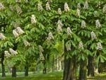 Flowering Chestnuts