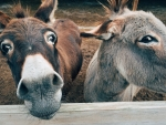Brown & grey donkeys