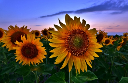 Sunflowers at Sunset - clouds, sky, field, sunflowers, sunset, nature