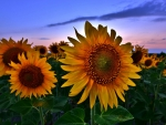 Sunflowers at Sunset