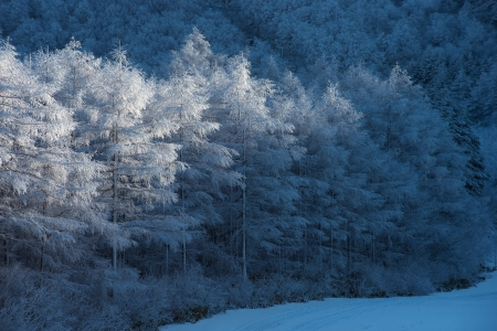 ♥ - white, blue, winter, forest, tree, iarna