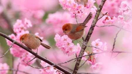 Pink cherry - Branches, Flowers, Blossom, Birds