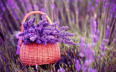 Eternal Lavenders - special, photography, purple, excellence, beauty, flowers, lavenders, nature