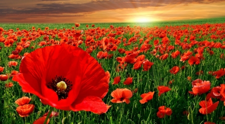 Poppy field in sunset - sunrise, nature, sunset, spring, landscape, scene, poppy, dawn, poppies, wallpaper, flowers