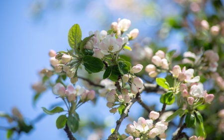 Apple Blossoms - apple, blossoms, spring, tree, Latvia