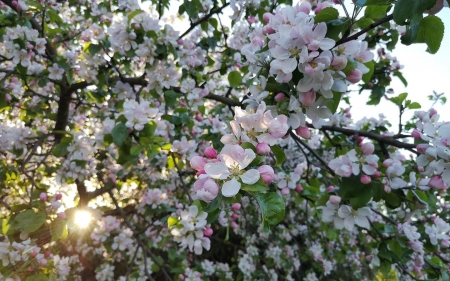 Apple Blossoms - sun, tree, apple, Latvia, blossoms, spring