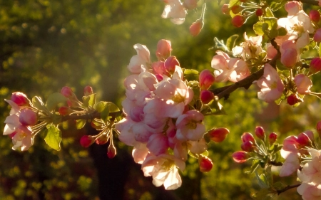 Apple Blossoms - tree, apple, macro, Latvia, blossoms, spring