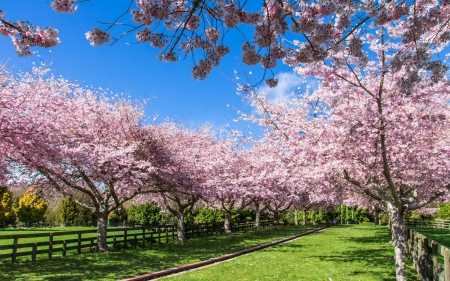Cherries in New Zealand - spring, New Zealand, cherries, blossoms, orchard, trees