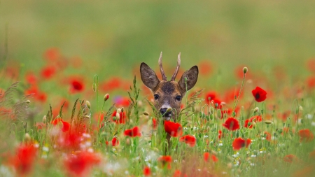 Deer - gren, horns, field, red, poppy, cerb, caprioara, deer, animal, cute, vara, summer, flower