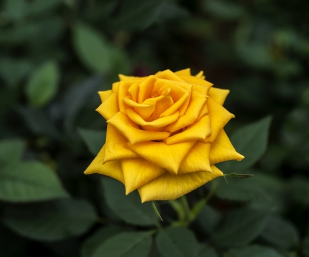 Yellow rose - rose, trandafir, vara, green, yellow, summer