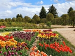 Tulip Garden in Latvia