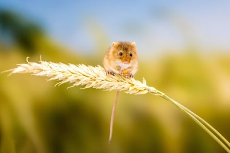 Mouse - cute, tiny, soricel, mouse, little