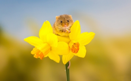 Mouse - narcisa, mouse, daffodil, yellow, flower, spring, rodent, soricel, cute