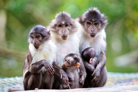 The Macaque Group Picture - family, monkeys, macaque, animals