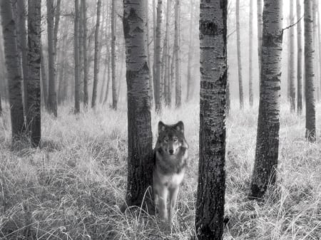 Grey Wolf - grey, wolfs, animals canine, dogs, forest