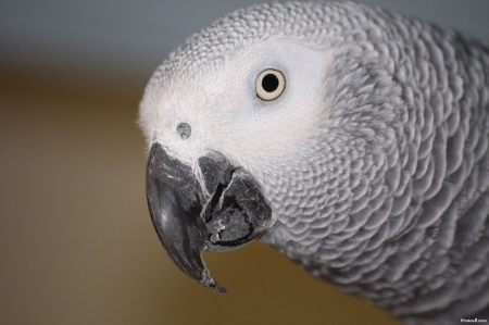 Grey Parrot - animals, feather, wild, avian, birds, grey, parrots