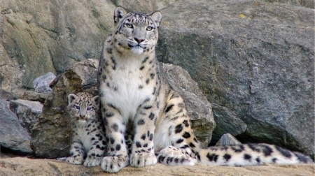 Snow leopard family - cute, feline, wild, leopards, wildlife, snow leopard, animals, wild animals