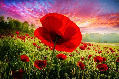 Red Poppy Facing the Morning Light - petals, sunrise, field, blossoms, clouds, sky