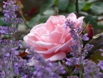 Rose and Lavender