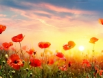 Poppies at sunrise