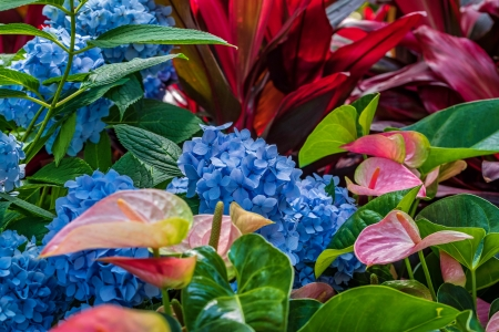 Anthurium Hydrangea - colorful, garden, Hydrangea, flowers, mix, beautiful