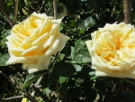 Creamy Yellow Roses