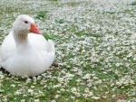 Goose Protecting the Daisies