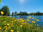 Buttercups by Lake