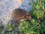 Hedgehog Crossed the Road