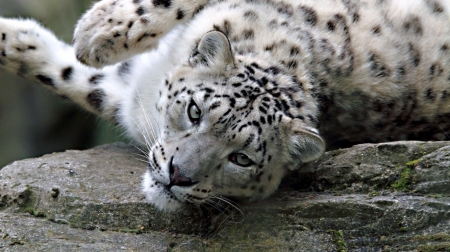 Lazy snow leopard - feline, wild, wildlife, cats, animals, wild animals, big cats, leopard, snow leopard, wallpaper