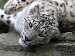 Lazy snow leopard