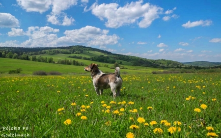 Dog on Meadow - dandelions, meadow, dog, Poland, hill, clouds