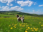 Dog on Meadow