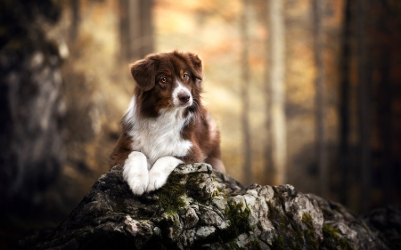 Australian Sheepdog - Australian Sheepdog, forest, tree, dog