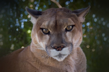Mountain Lion - face, mountain lion, puma, animal, coiugar