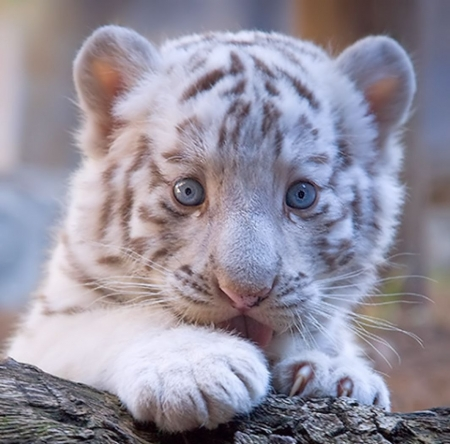 White tiger cub - white, cute, cub, tigru, tiger, face, animal