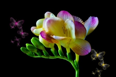 Freesias - spring, pink, freesia, flower, yellow, black