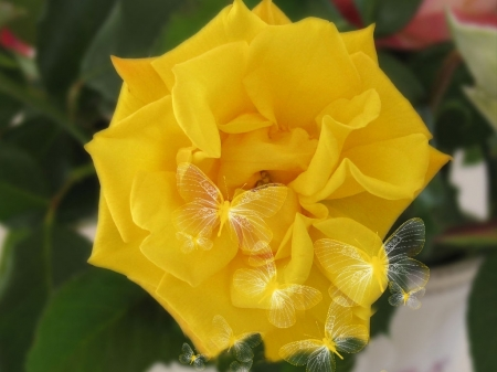 Rose - one, flower, yellow, rose