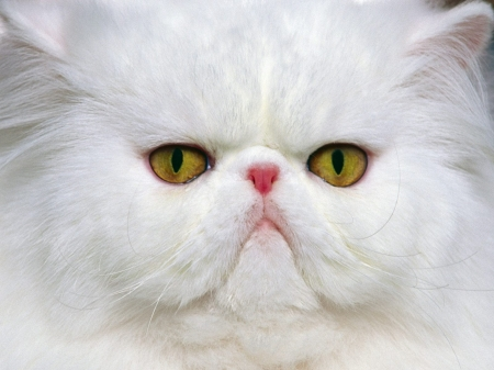 Cat - face, pisici, cat, white, eyes