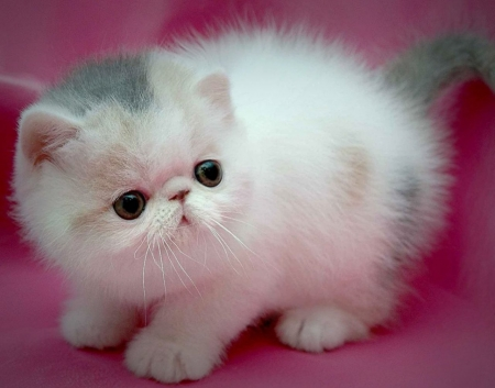 Kitten - cute, white, pink, pisici, cat, kitten
