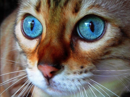 Kitten - blue, brown, face, pisici, eyes, kitten, cat