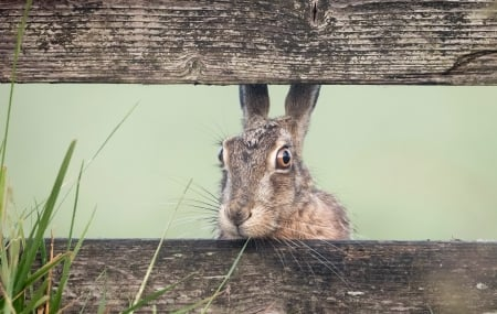 Bunny - bunny, rodent, wood, fence, rabbit, iepure