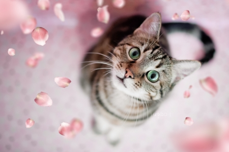 Cat - cat, pink, view from the top, petals, face, pisici